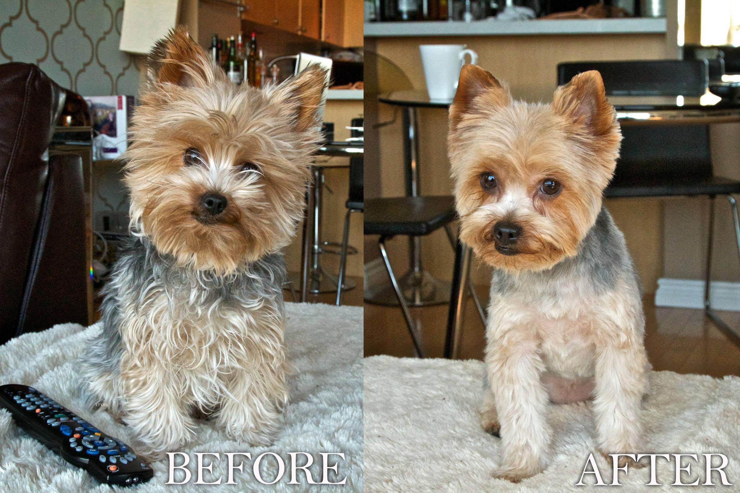 Cool Dog Haircuts  Best Yorkie Hair Cuts