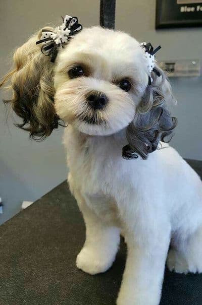 Cool Dog Haircuts  10 Maltese Haircuts & Hairstyles – Pet Lover Pro Blog