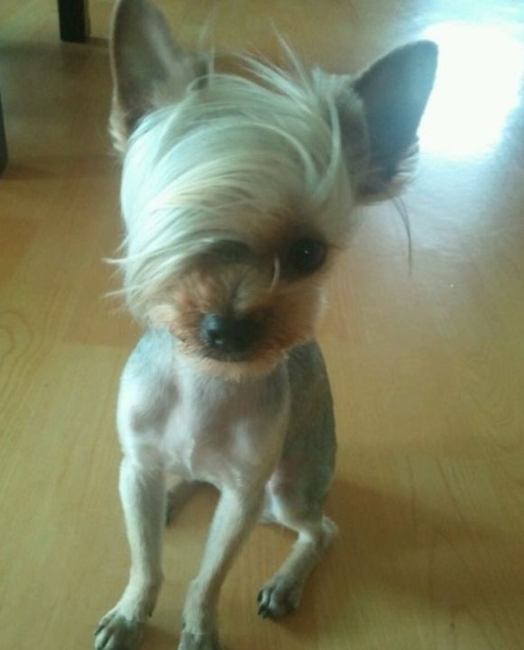 Cool Dog Haircuts  190 best images about Yorkie hairdo on Pinterest