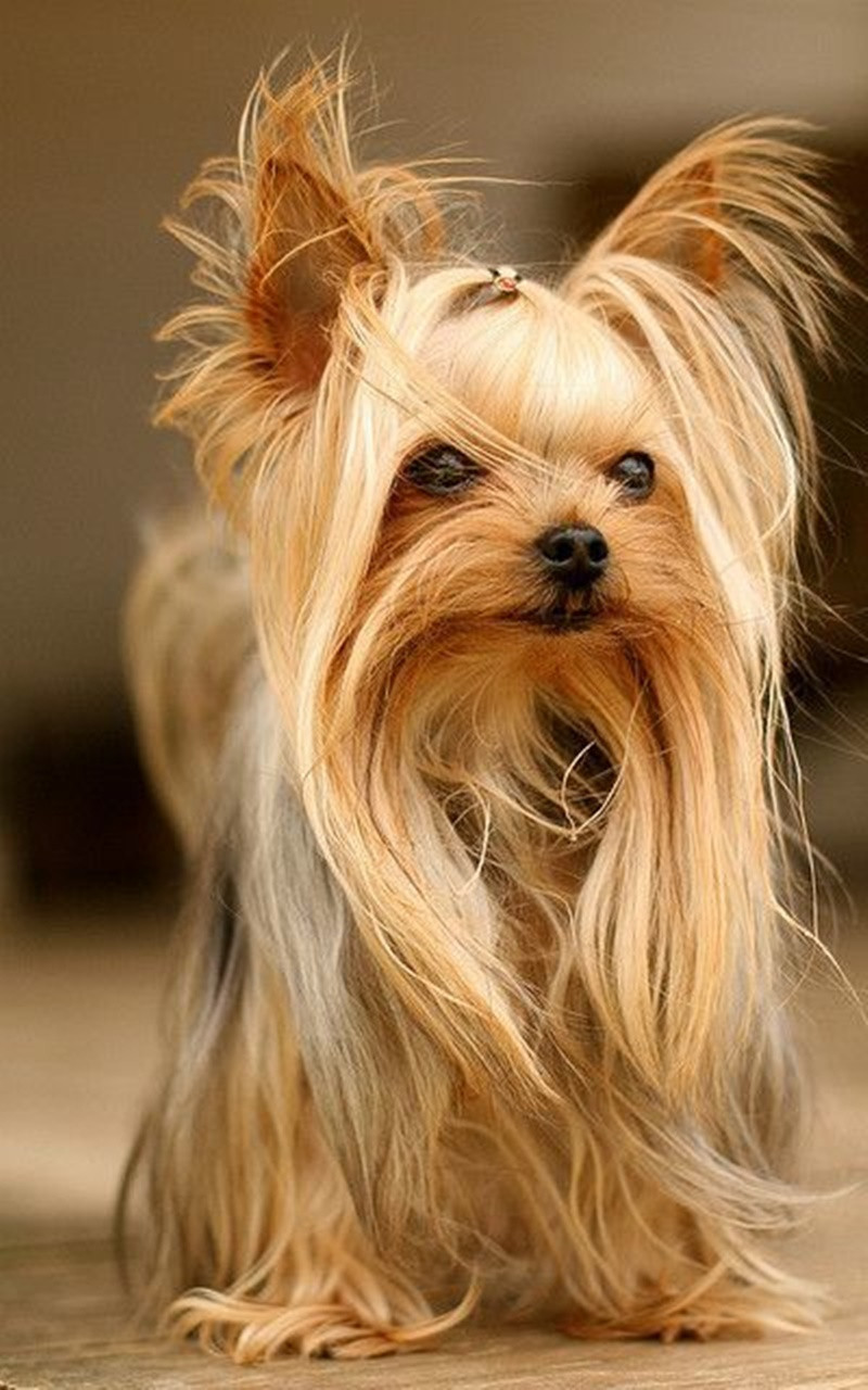Cool Dog Haircuts  125 Yorkie Haircuts Make your dog look super cute