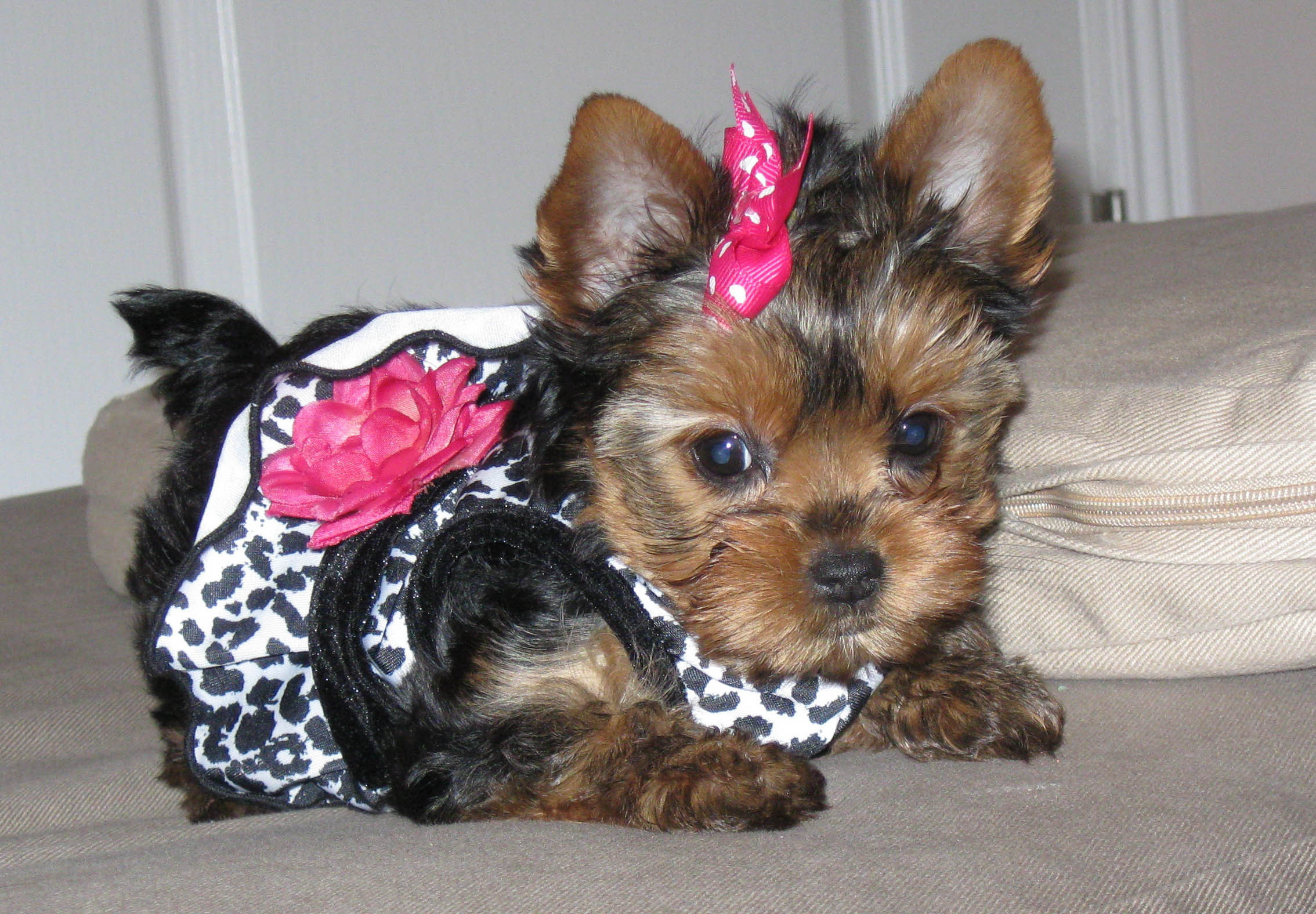 Cool Dog Haircuts  Yorkie Haircuts Coolest Yorkshire Terrier Haircuts