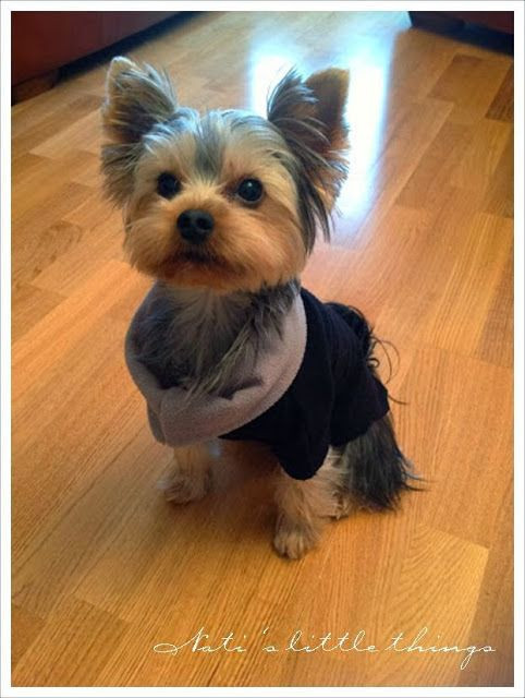 Cool Dog Haircuts  1307 best Yorkie Love images on Pinterest