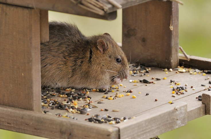Rats In Backyard  Do you have an all you can eat buffet for rats in your