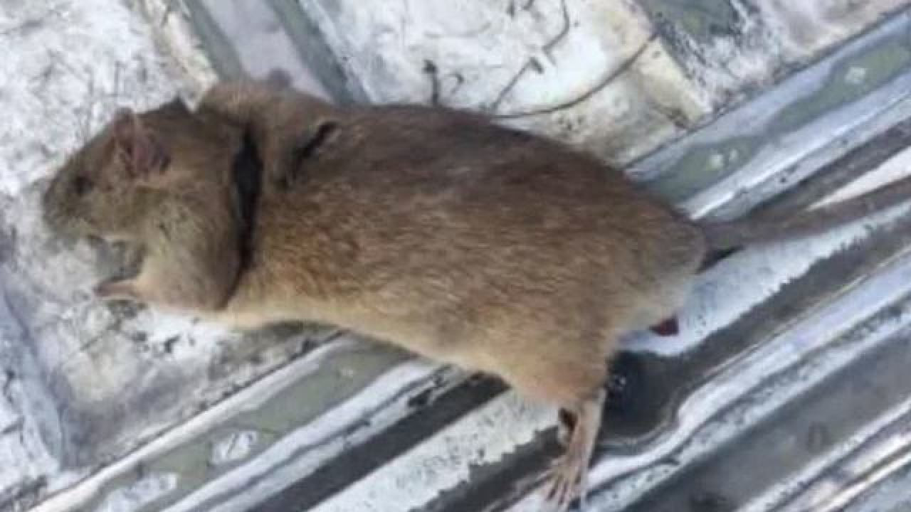 Rats In Backyard  UPDATE Henderson woman still battling family of rats in