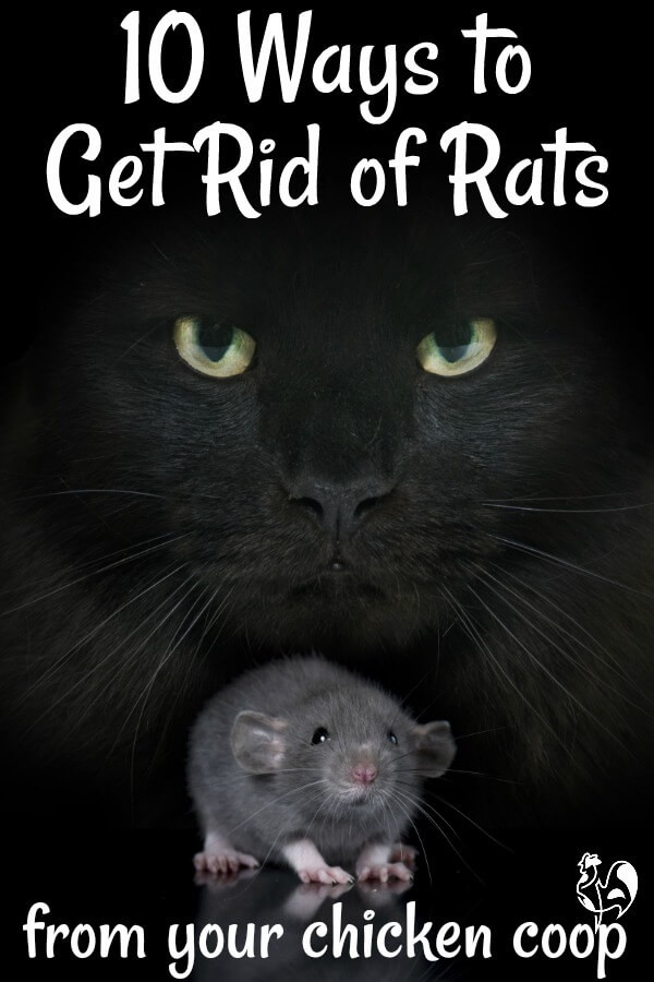 Rats In Backyard  Getting rid of rats from your chicken coop a plete guide
