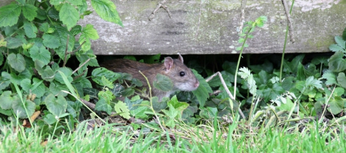Rats In Backyard  Do Rats Eat Dog Poop Your Questions Answered