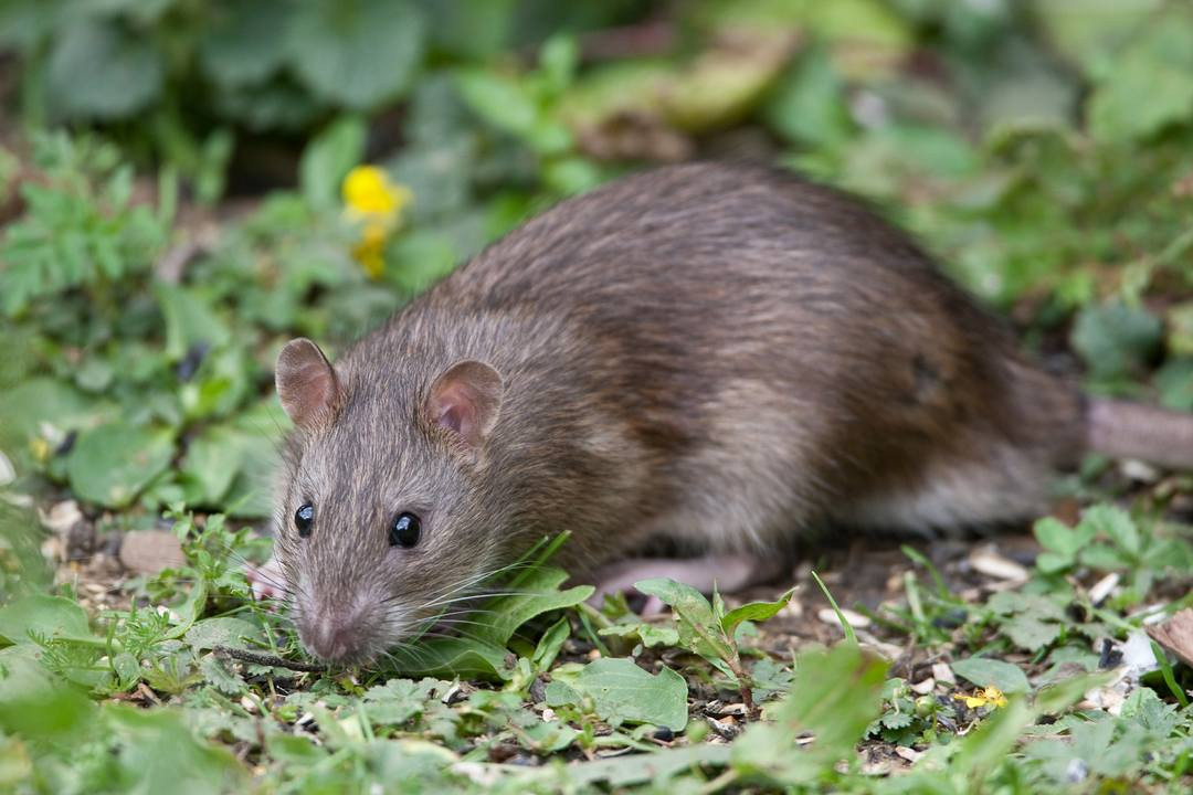 Rats In Backyard  Rats in the post Heap & Weil s Disease Safety Concerns