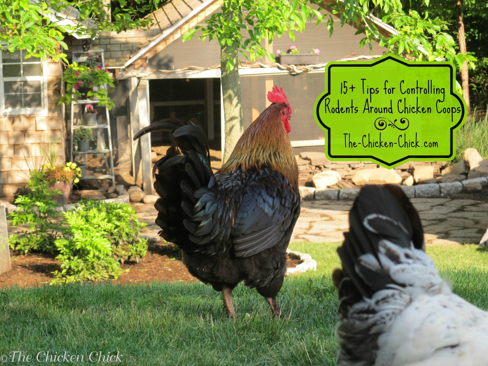 Rats In Backyard  15 Tips to Control Rodents Around Chicken Coops