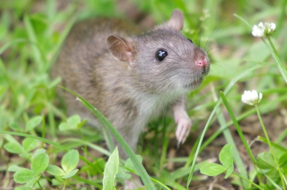 Rats In Backyard  How to Get Rid of Rats in Your Backyard Best Methods 2019