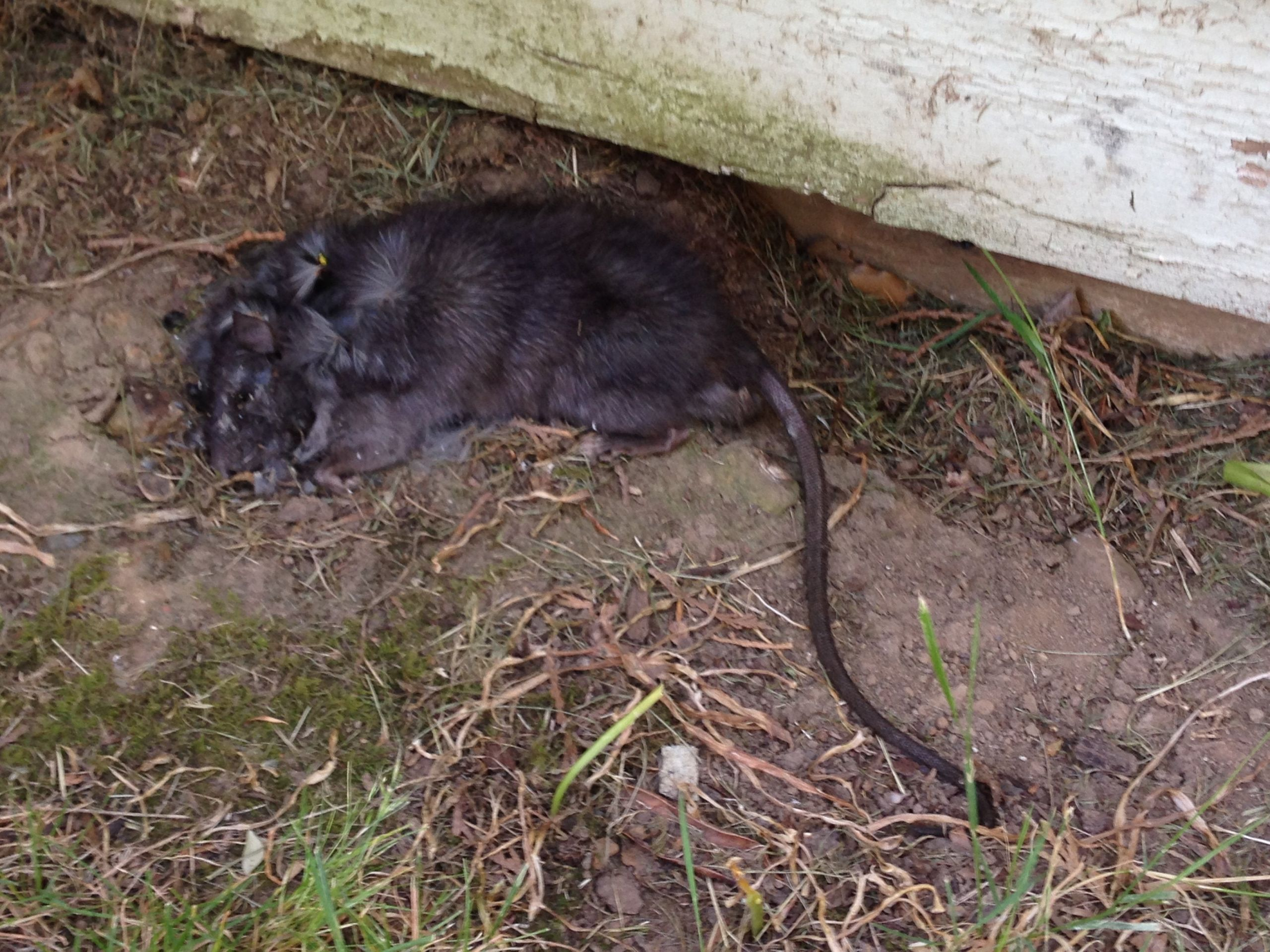 Rats In Backyard  Found a huge black rat in my backyard is this normal