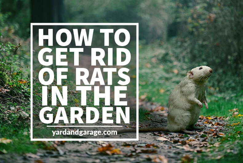 Rats In Backyard  How to Get Rid of Rats Outside