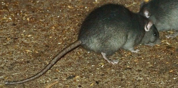Rats In Backyard  Pests in the Back Yard An Introduction to Garden Rodents