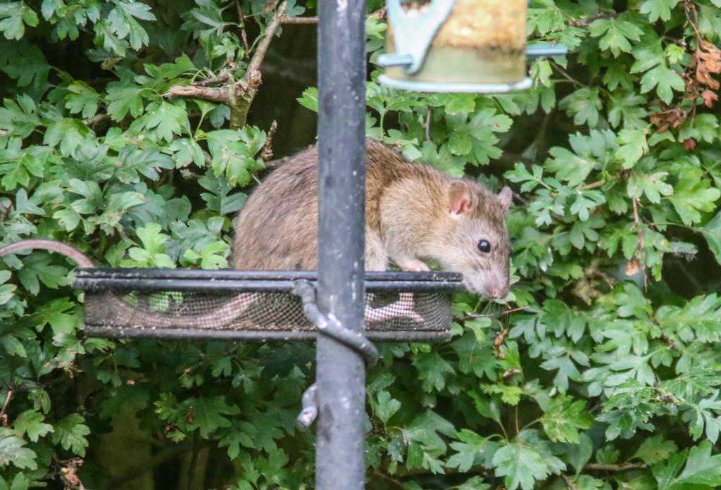 Rats In Backyard  Did bird feeders attract rats to the backyard