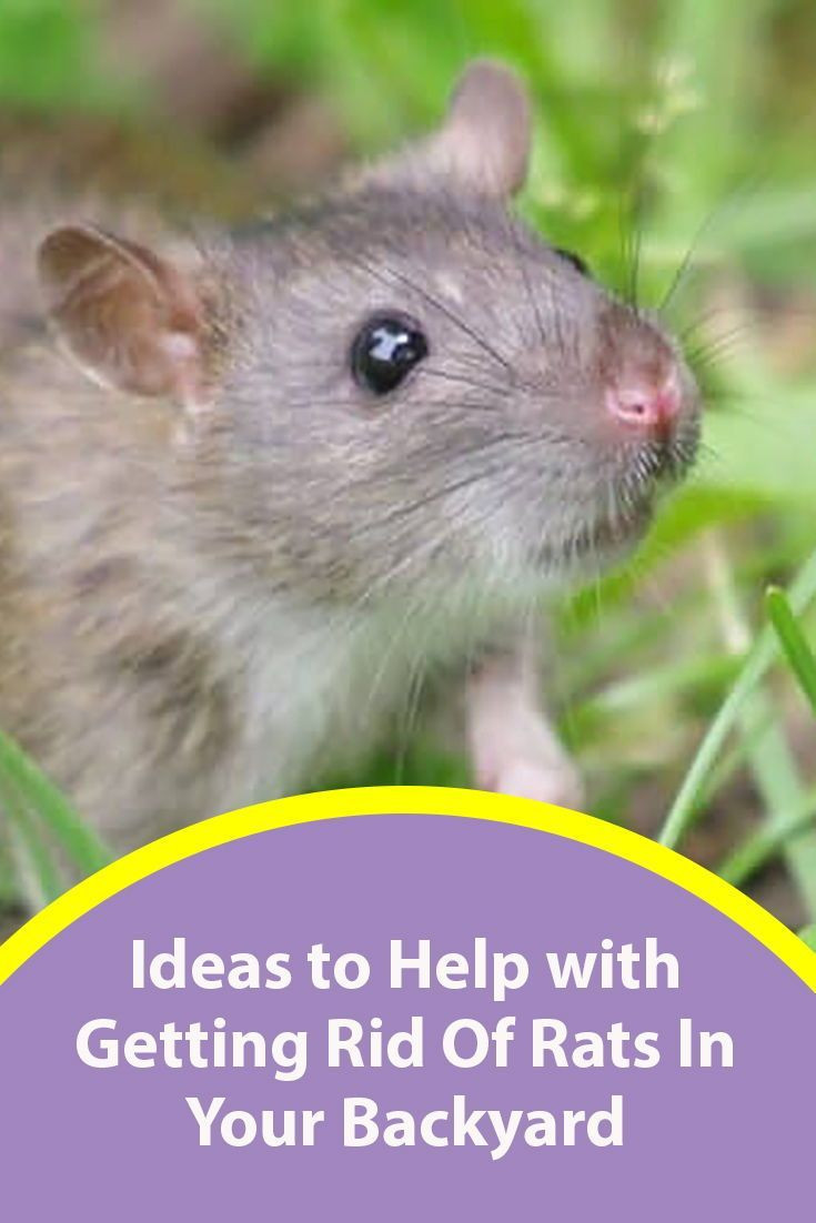 Rats In Backyard  How to Get Rid of Rats in Your Backyard Best Methods 2020