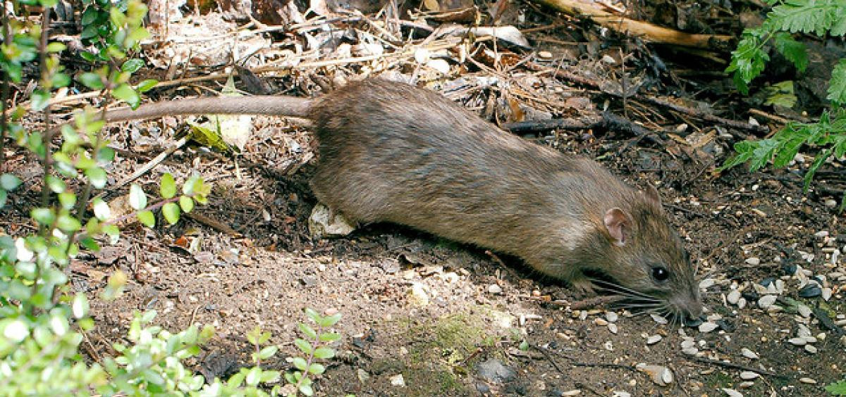 Rats In Backyard  Tips for keeping rats out of home and garden