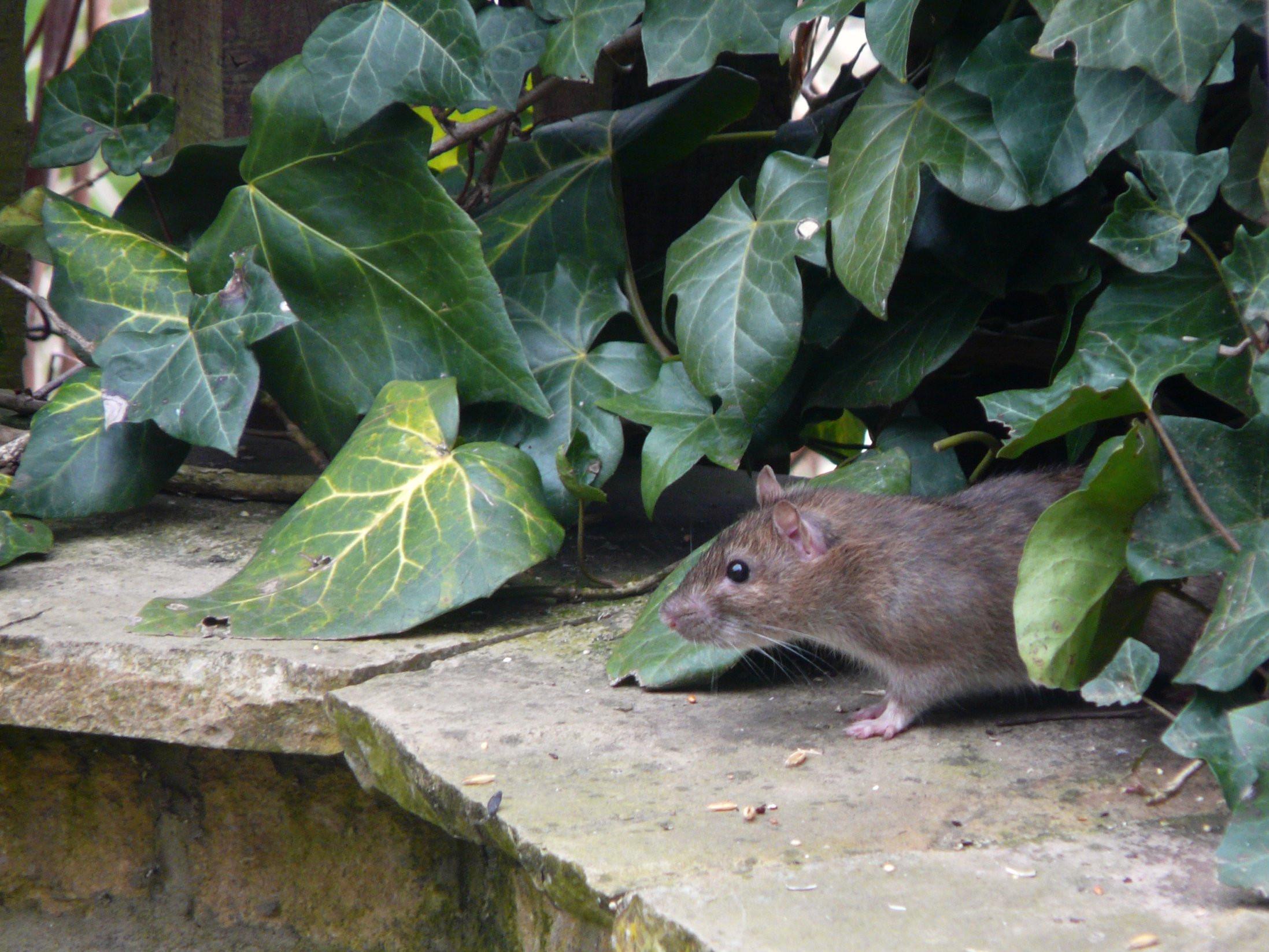 Rats In Backyard  Urban Garden Guide