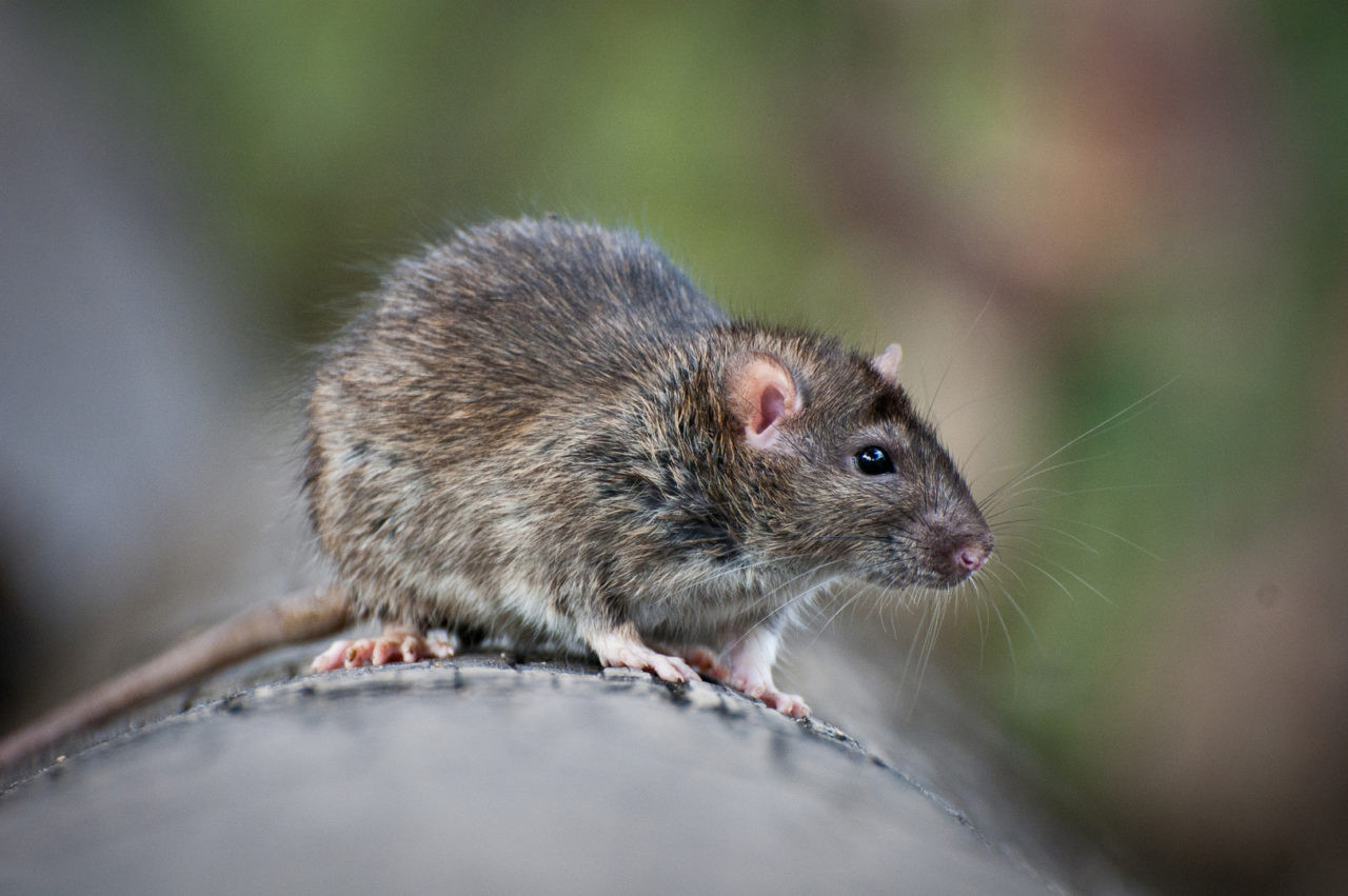 Rats In Backyard  Getting Rid Get Rid Rats Backyard bedbugs