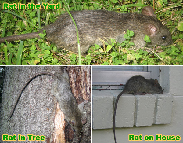 Rats In Backyard  How to Get Rid of Rats in the Yard