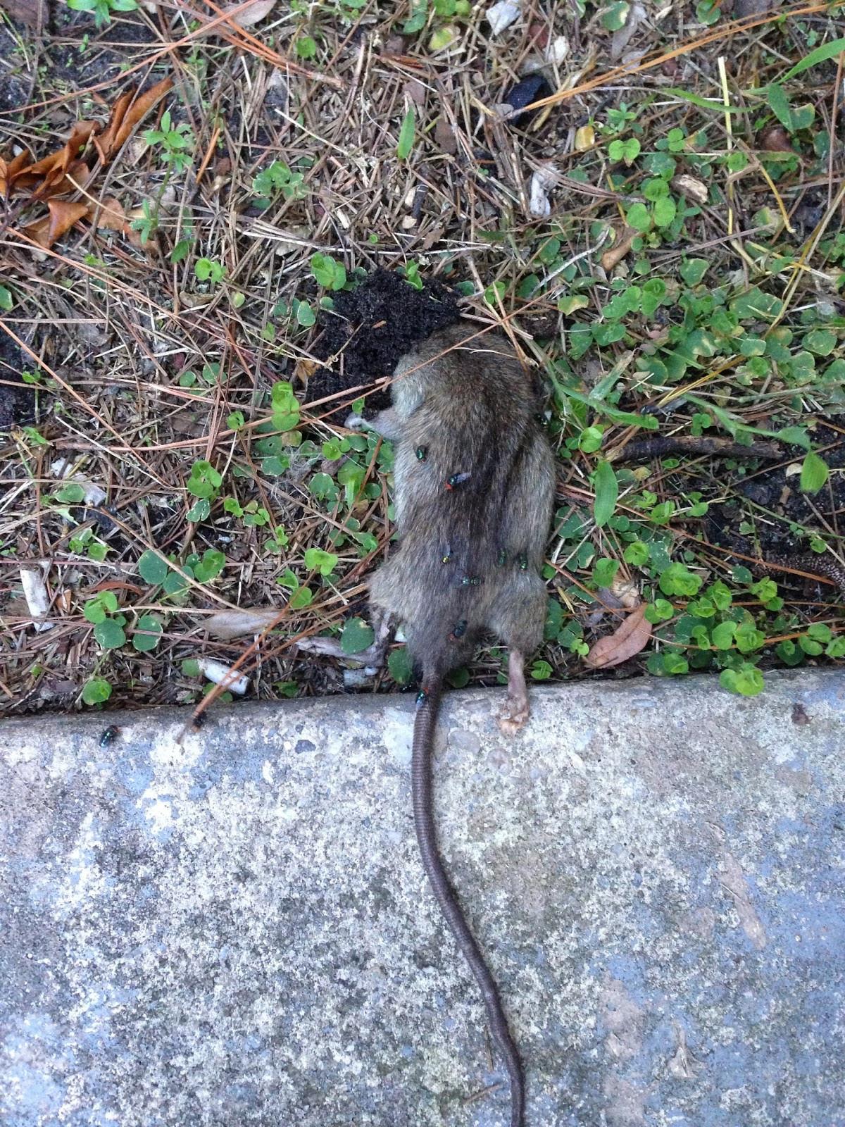Rats In Backyard  Living Alongside Wildlife Readers Write In Are