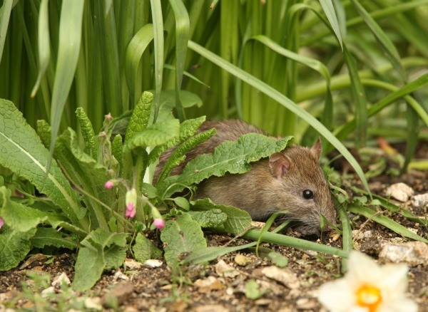 Rats In Backyard  Getting Rid of Rats In My Yard