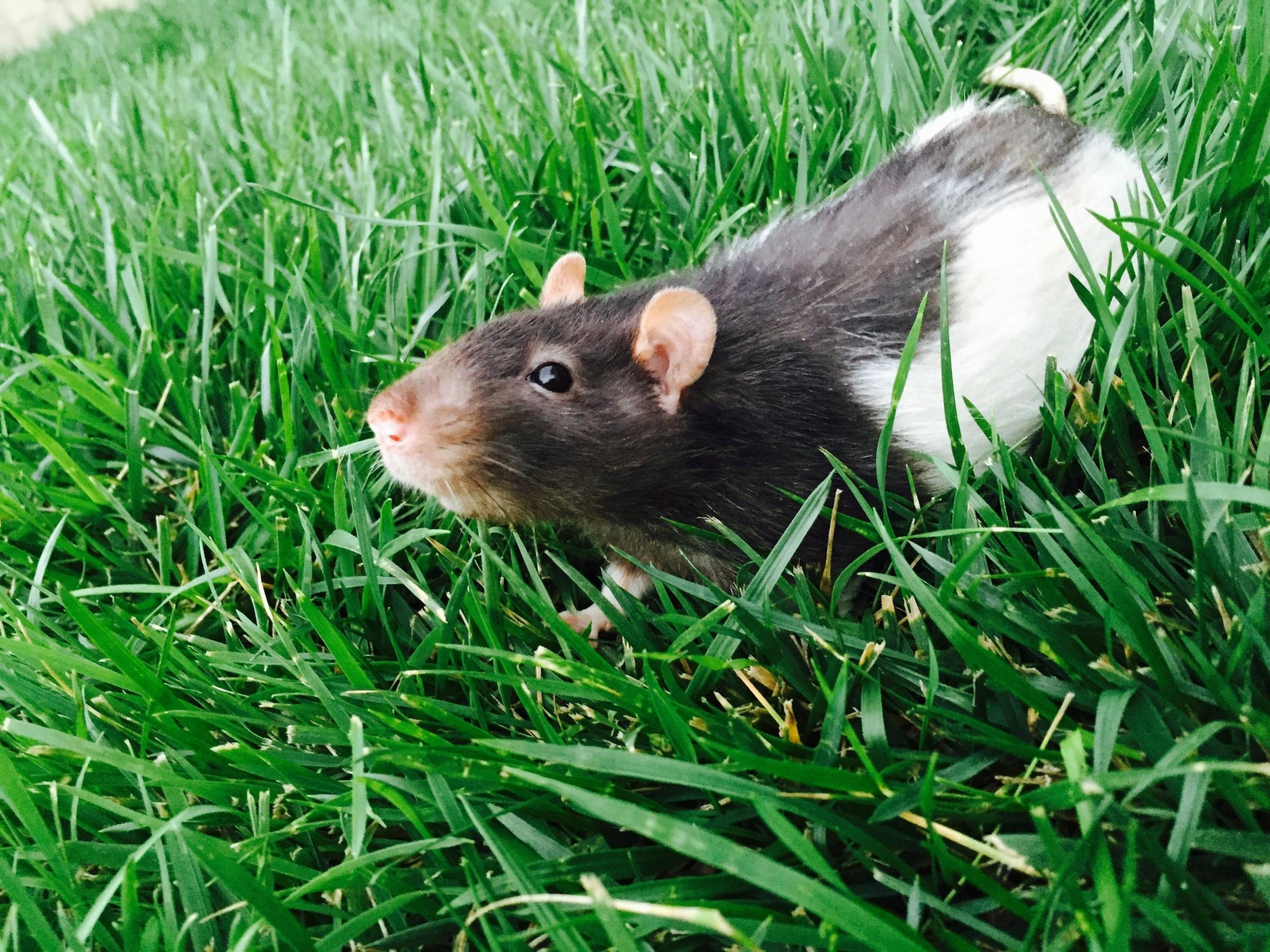 Rats In Backyard  Moved into a new home today with a giant backyard My