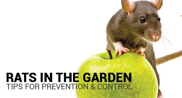 Rats In Backyard  Preventing and Controlling Rats in the Garden