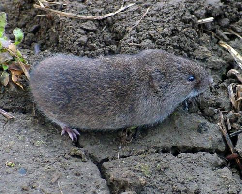 Rats In Backyard  Savvy Housekeeping How To Remove Voles From Your Garden
