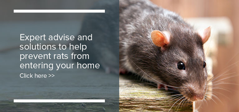 Rats In Backyard  What type of rat is visiting your backyard deBugged