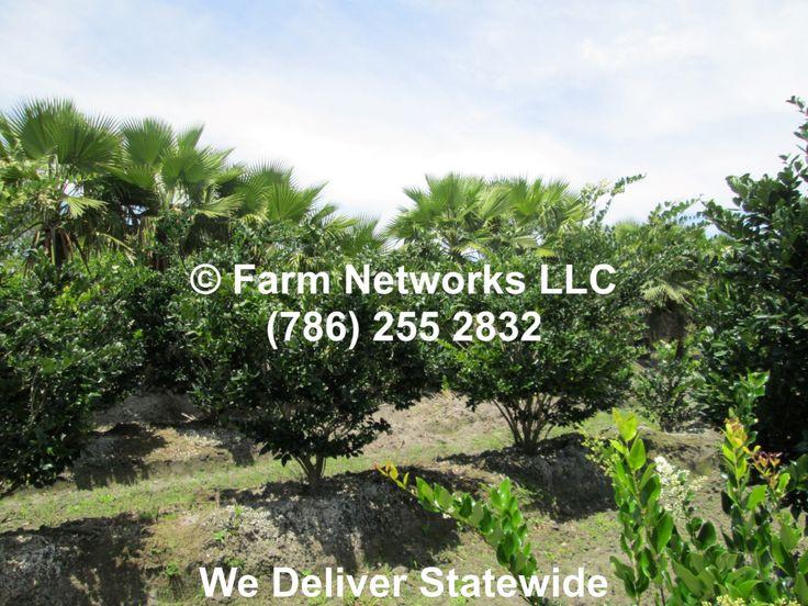 Word Whizzle Backyard  Field Grown Ligustrum Tree for Sale